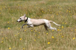 clinicnewsimage_306_300_dog-running-through-grass
